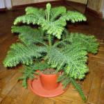 Араукария – комнатная ель